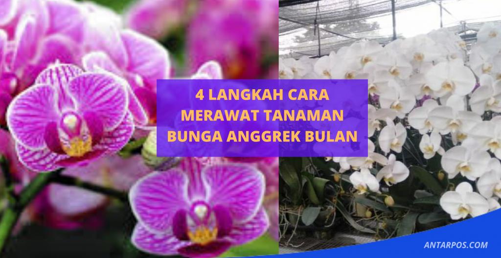 Inilah 4 Langkah Cara Merawat Tanaman Bunga Anggrek Bulan Antarpos